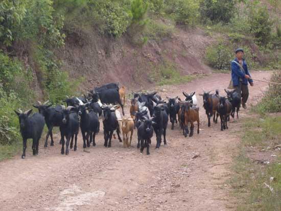 黑山羊养殖技术 - 第4页 - 养羊技术 - 黔农网
