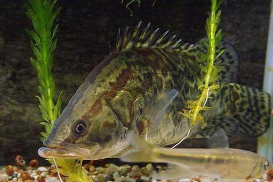 鳜鱼池塘养殖关键技术