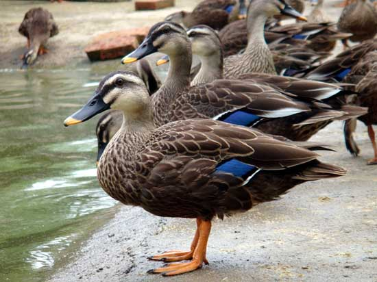 斑嘴野鸭养殖技术
