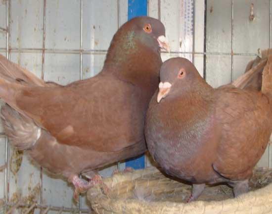 人工孵鸽技术