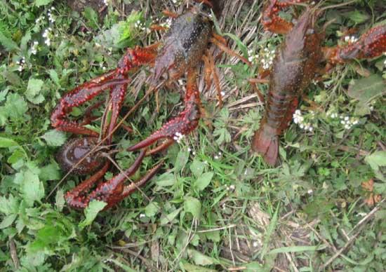 淡水小龙虾的养殖技术