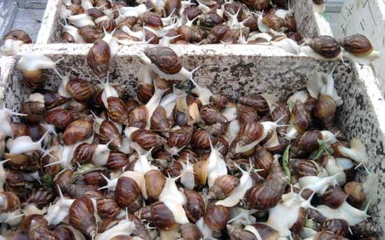 白玉蜗牛养殖技术
