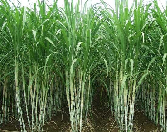 甘蔗的种植技术