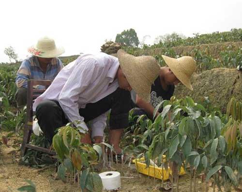 荔枝种苗高效繁殖技术