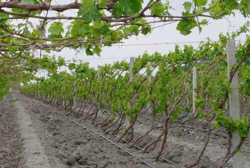 葡萄種植常見問題的回答