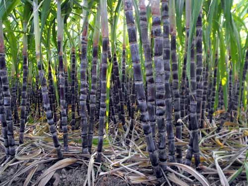甘蔗正确的施肥方法