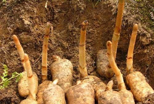 天麻高产种植技术