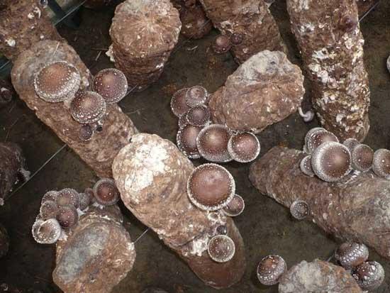 香菇栽培技术视频教程