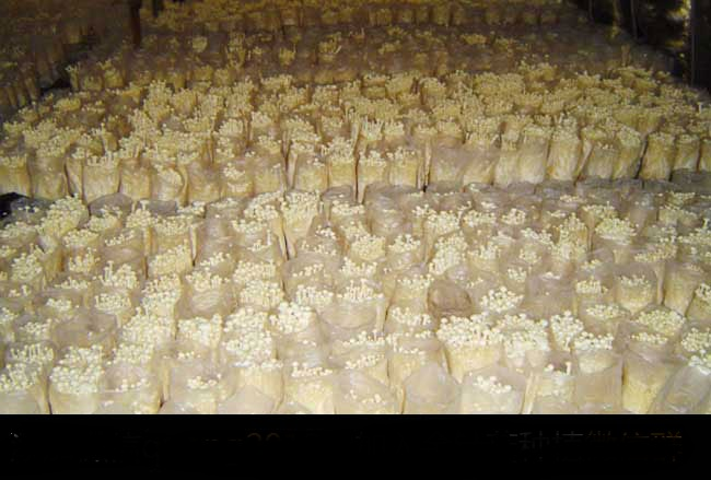 金针菇栽培种植技术