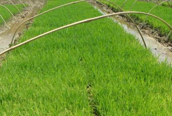 怎样加强水稻苗期分蘖率