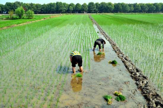 水稻插秧技术要求