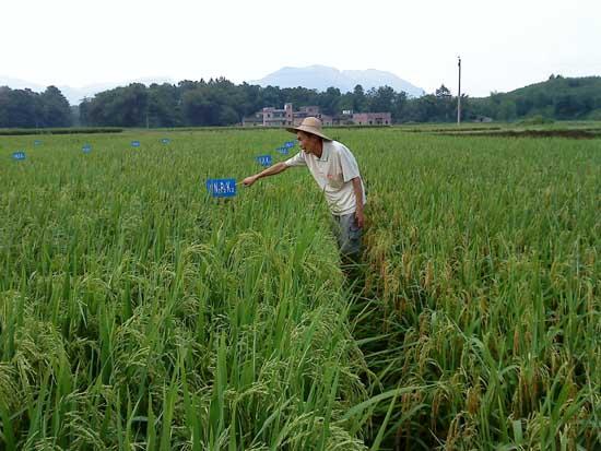 水稻如何进行标准化施肥