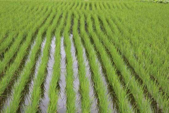 怎样缩短稻秧移栽后的返青期