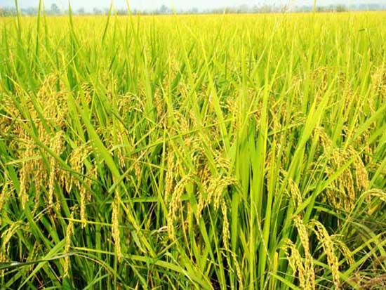 水稻生长后期高产栽培要点