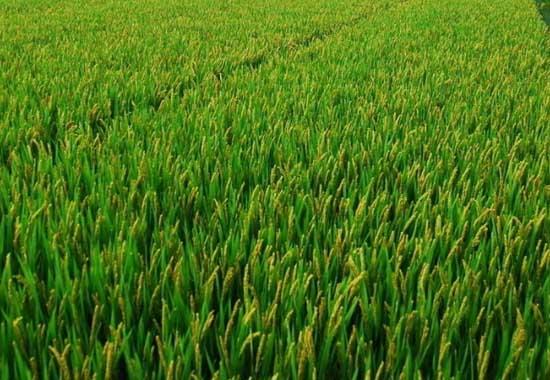 水稻抽穗结实期的田间管理