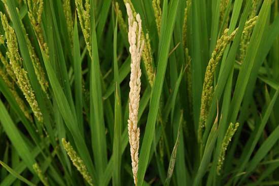 水稻常见病害防治