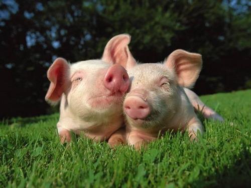 猪肺疫的土方治疗方法