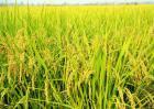 水稻生长特性及对环境的要求