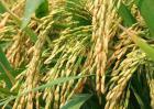 水稻种子处理技术