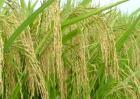 水稻后期的田间管理