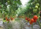 西红柿的种植技术