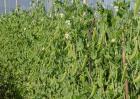 豌豆的种植技术