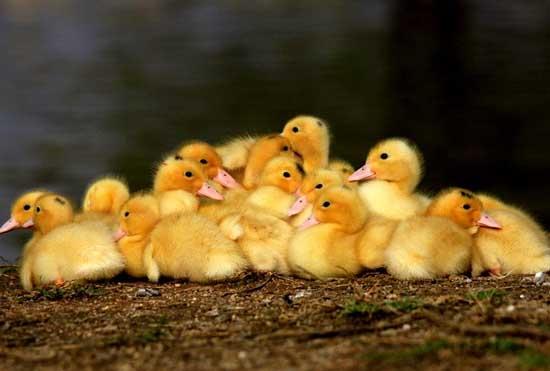 提高雏鸭成活率的三条措施