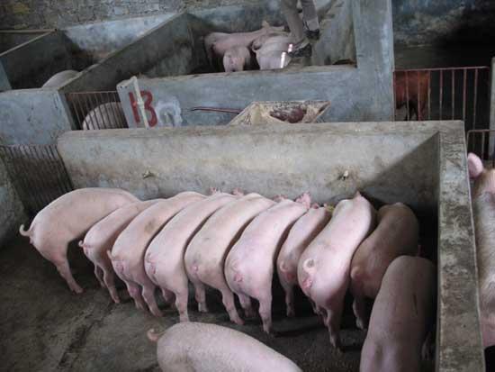 生猪多大出栏养殖效益最大?
