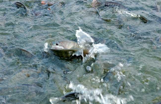 淡水养鱼知识