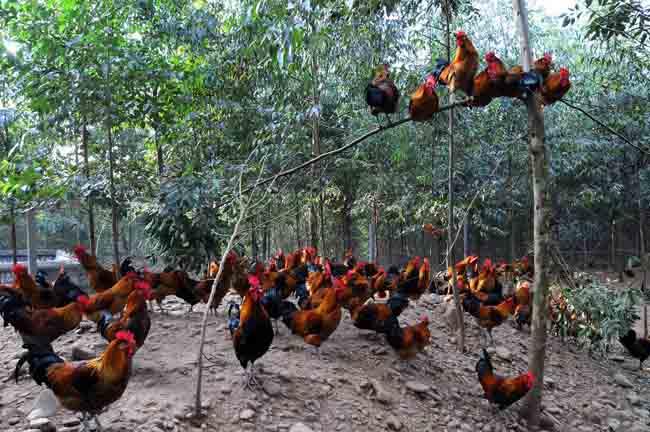 树林中散养鸡的注意事项