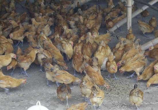 蝇蛆养鸡技术