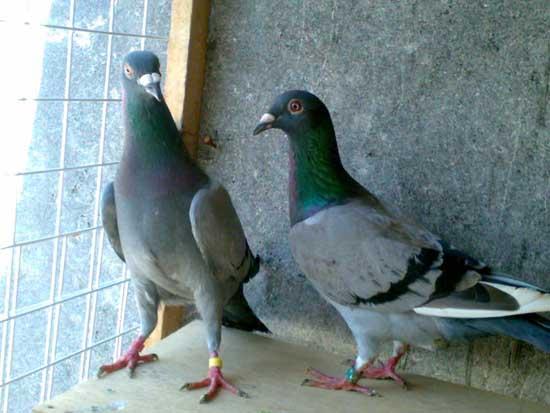 肉鸽的品种有哪些?