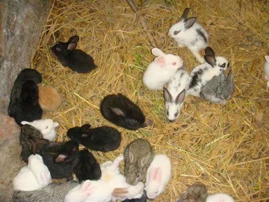 幼兔的科学管理技术