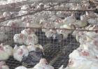 肉鸽的养殖前景