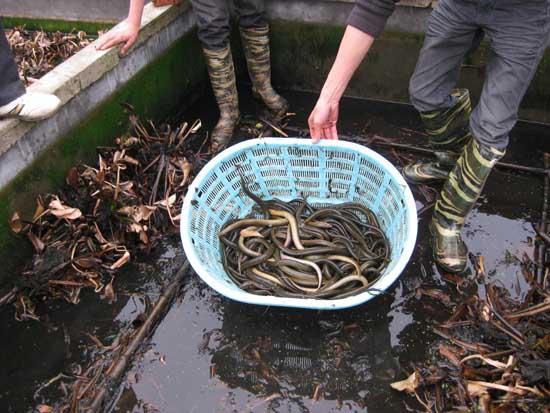 黄鳝养殖市场前景分析