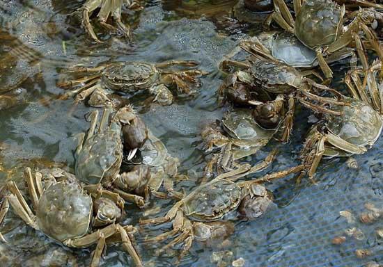 螃蟹的稻田养殖条件
