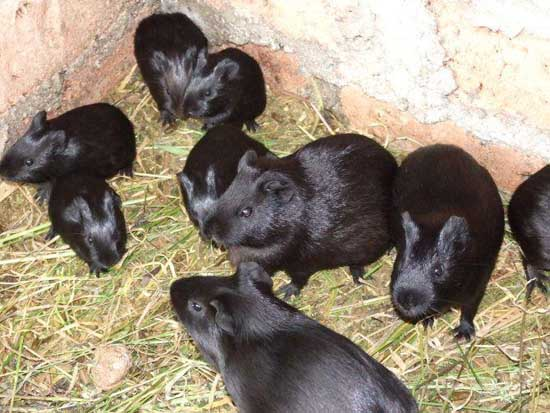 黑豚鼠养殖前景和经济价值