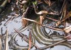 黄鳝的养殖现状