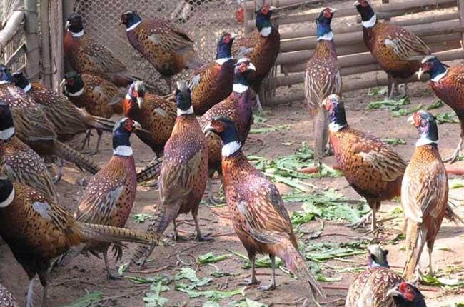 野鸡养殖成本和利润分析