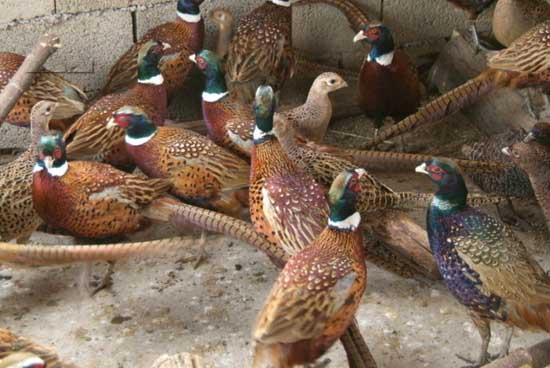 山鸡养殖的市场前景