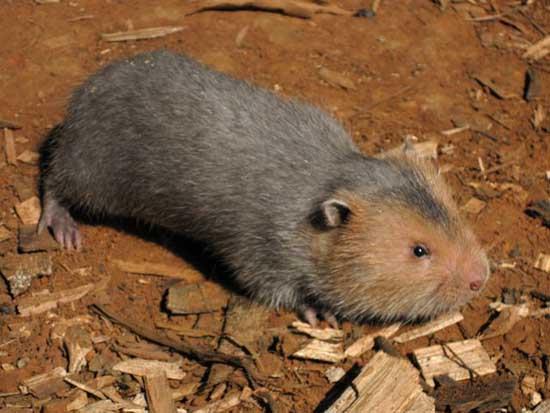 竹鼠的种类有哪些?