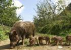 野猪养殖的市场前景及经济价值