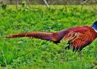 人工山鸡养殖的优势有哪些