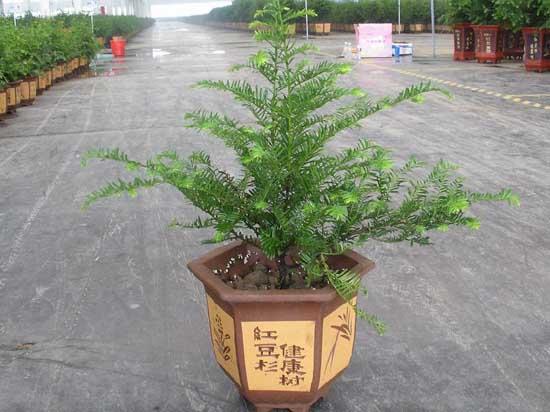 紅豆杉的繁殖技術