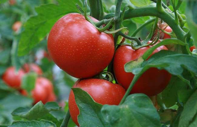 盆栽西红柿栽培技术