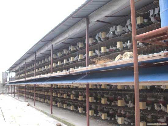 温室养殖大棚养殖鸽子的优点