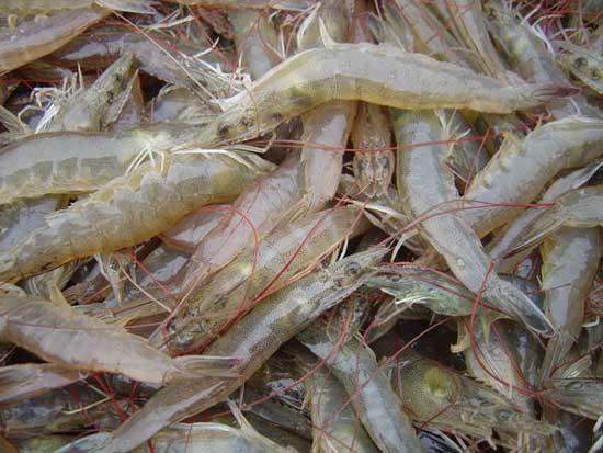 南美白对虾养殖技术