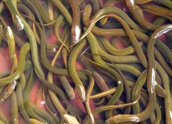 黄鳝最喜欢吃什么食物