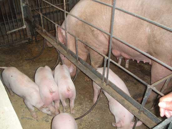母猪产后疾病的治疗方案