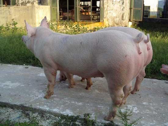 后备母猪饲养管理技术
